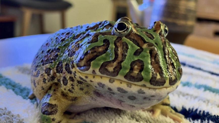 ツノガエルといういきものについて。