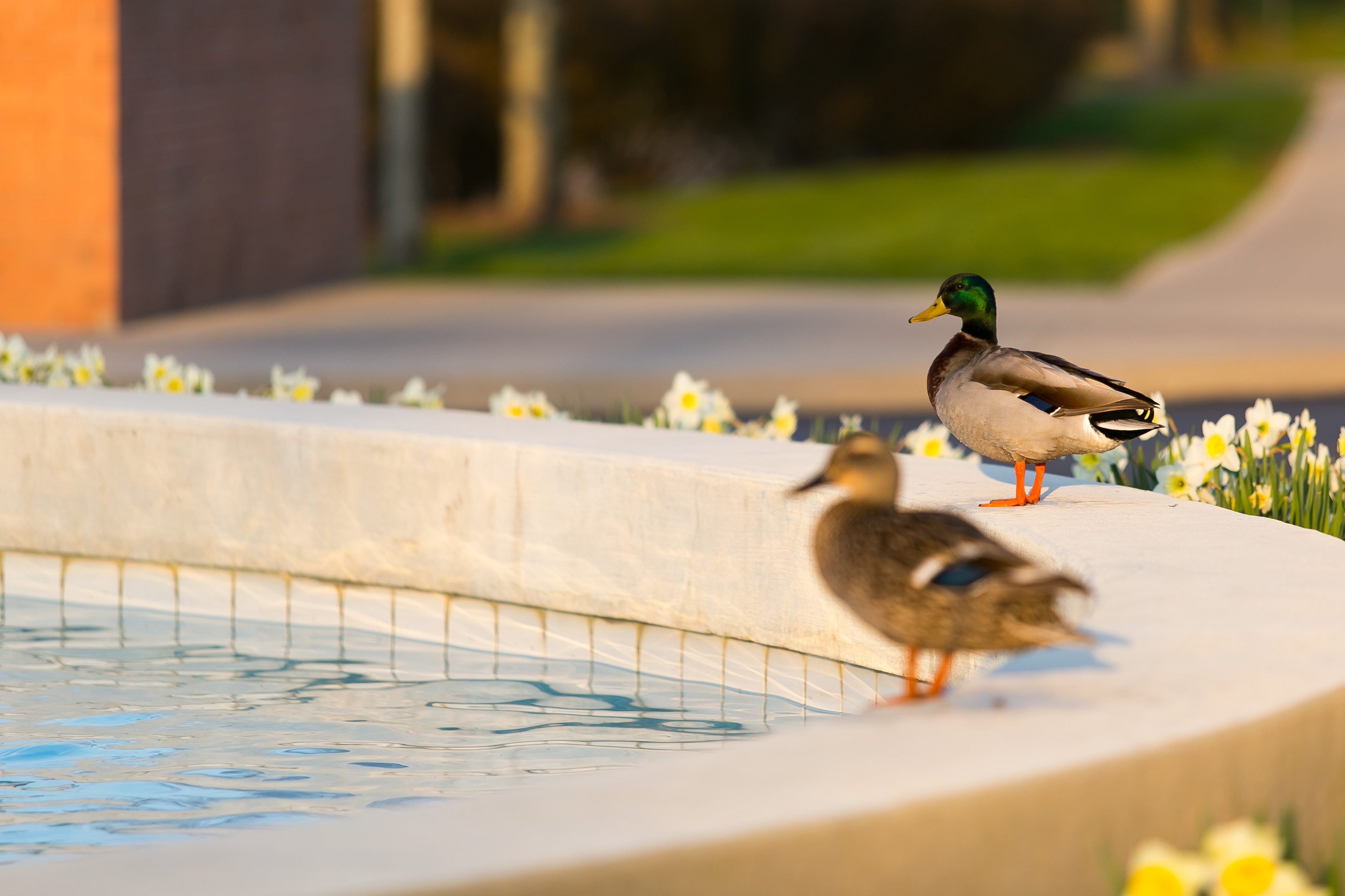 Two ducks sitting around a pond in the yard of a prefabricated home.