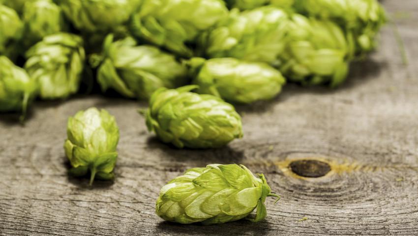 Frischer Hopfen – für tolles Bier