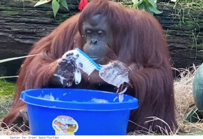 Orangutan Starts Washing Hands After Watching Caregivers