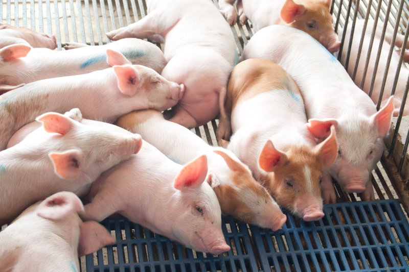 TAINTSTOP is the only hassle-free, nutritional alternative to piglet castration.