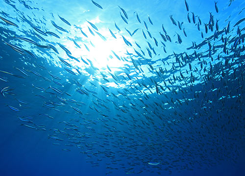 Swimming anchovies