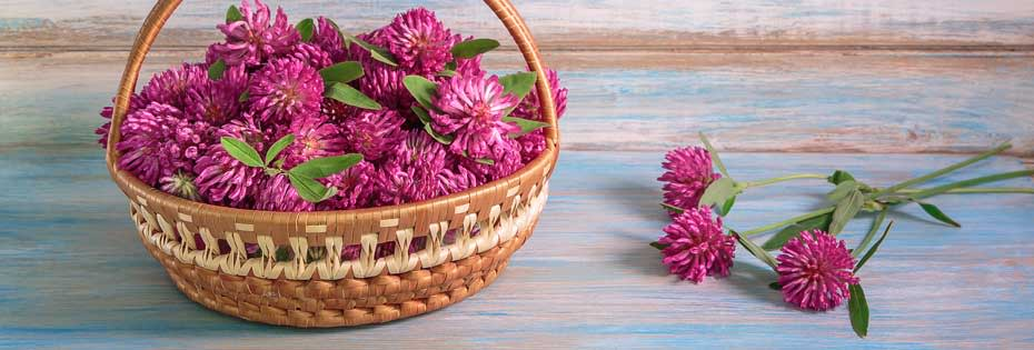 Red Clover: the definitive guide
