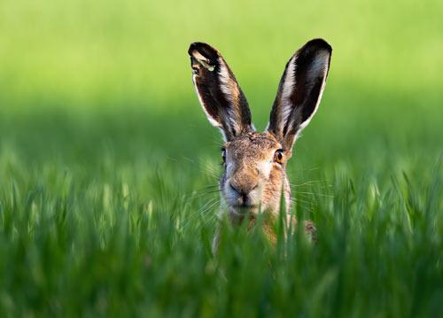 Hare with big ears