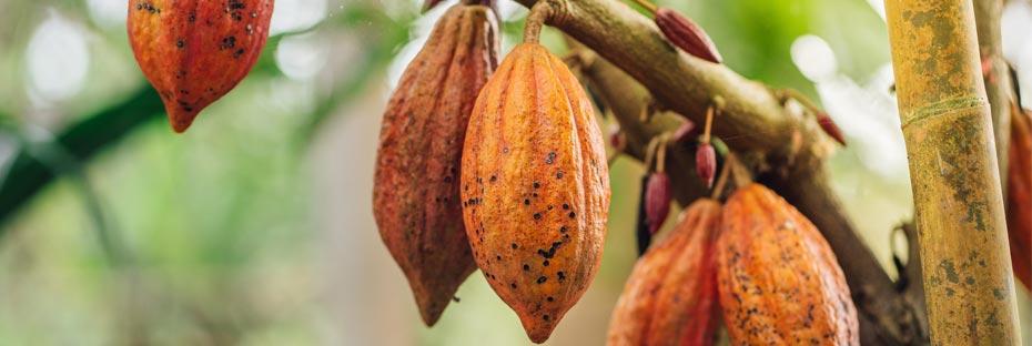 Cocoa pods on cocoa tree