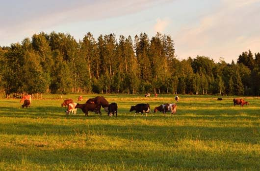 cows and livestock