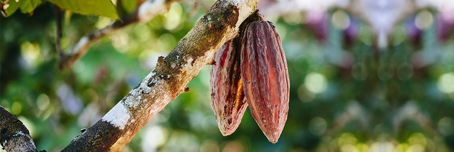 Cocoa pods hanging from a cacao tree