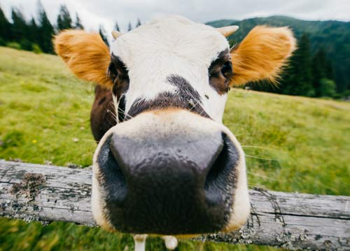 Close-up of cow's nose