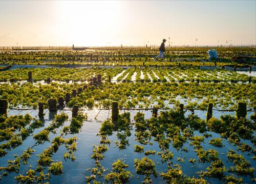 Farmed algae