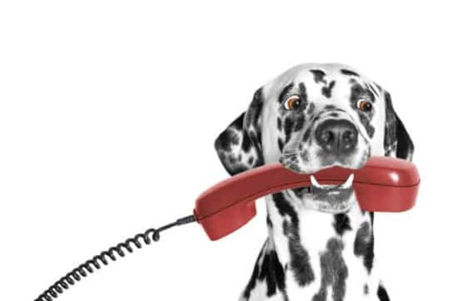 Dalmatian holding red phone
