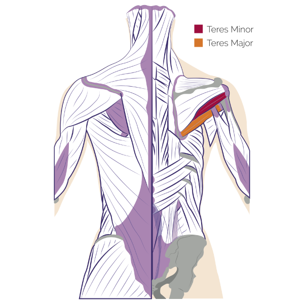 Teres major and minor