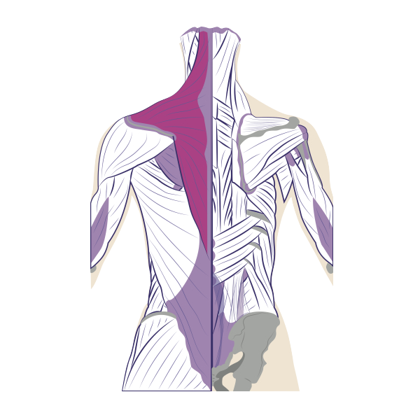 Trapezius (in red)