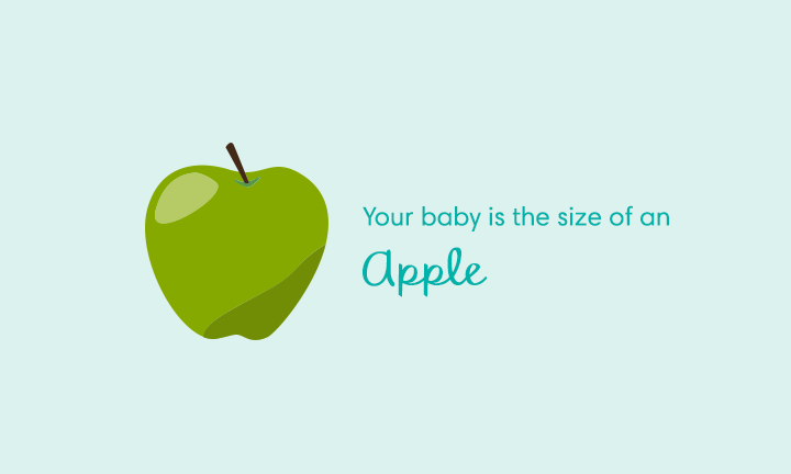 baby size of apple at week 16
