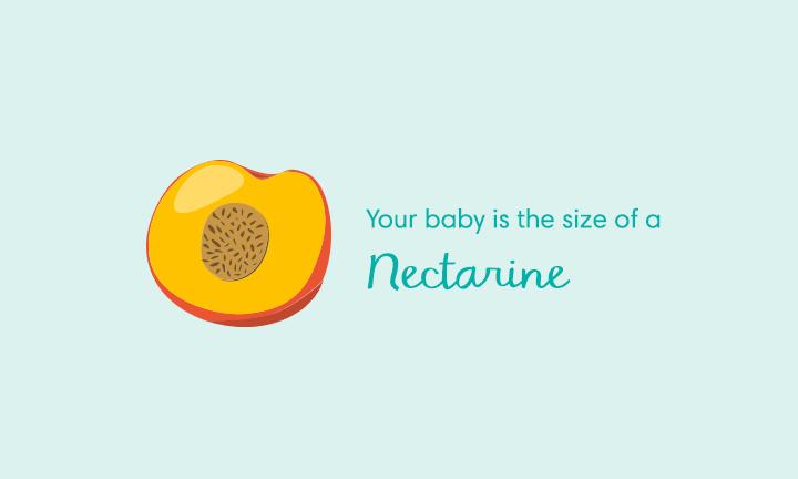 baby size of nectarine at week 14