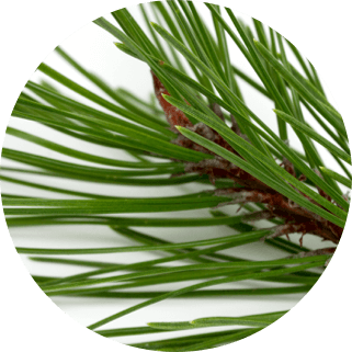 Korean Red Pine Extract
