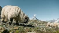 Mouton à nez noir Gornergrat été