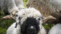 Blacknose sheep on the Gornergrat, Meet the Sheep