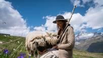 Black nosed sheep with shepherdess on the Gornergrat above Zermatt, Meet the Sheep
