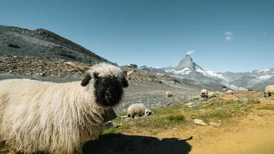 Black-nosed sheep on the Gornergrat in summer