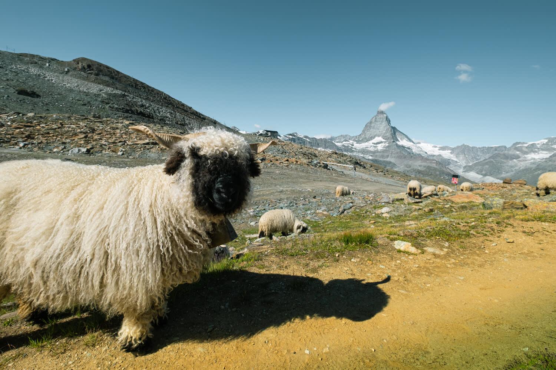 Schwarznasenschafe am Gornergrat oberhalb Zermatt im Sommer