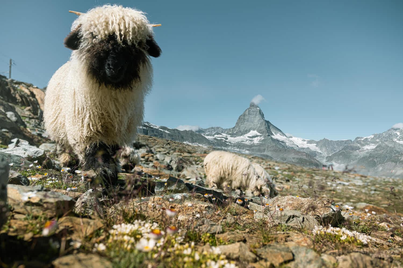 Meet the Sheep - Moutons sur le Gornergrat