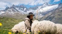 Schwarznasenschafe mit Hirtin am Gornergrat oberhalb Zermatt, Meet the Sheep
