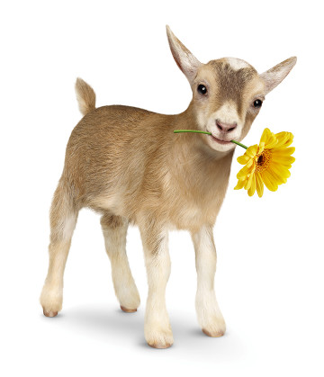 PigmyGoat Blond wFlower BH d LR
