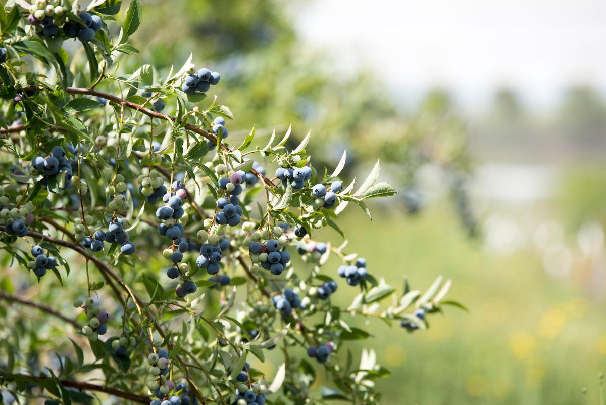 Blueberry Prospectus