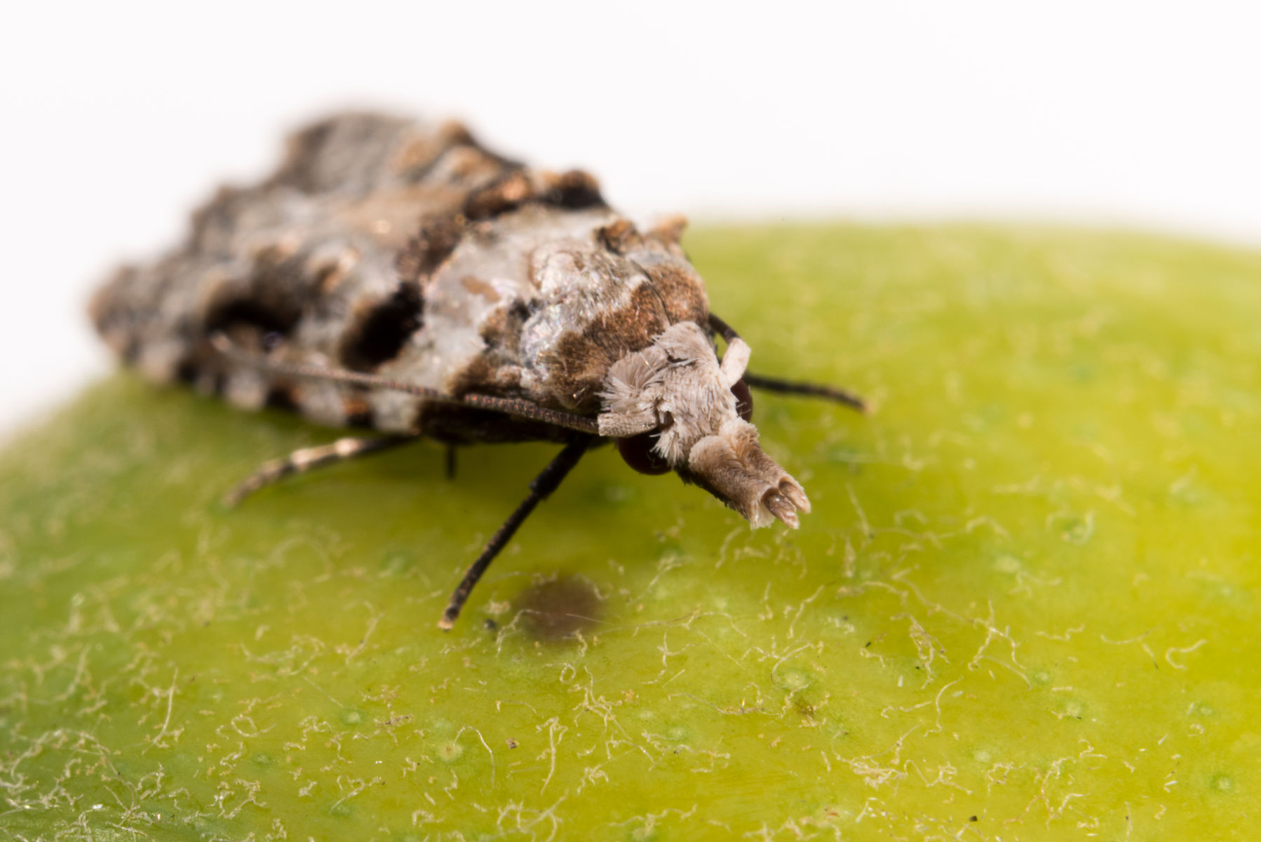 The slow attack of the guava moth