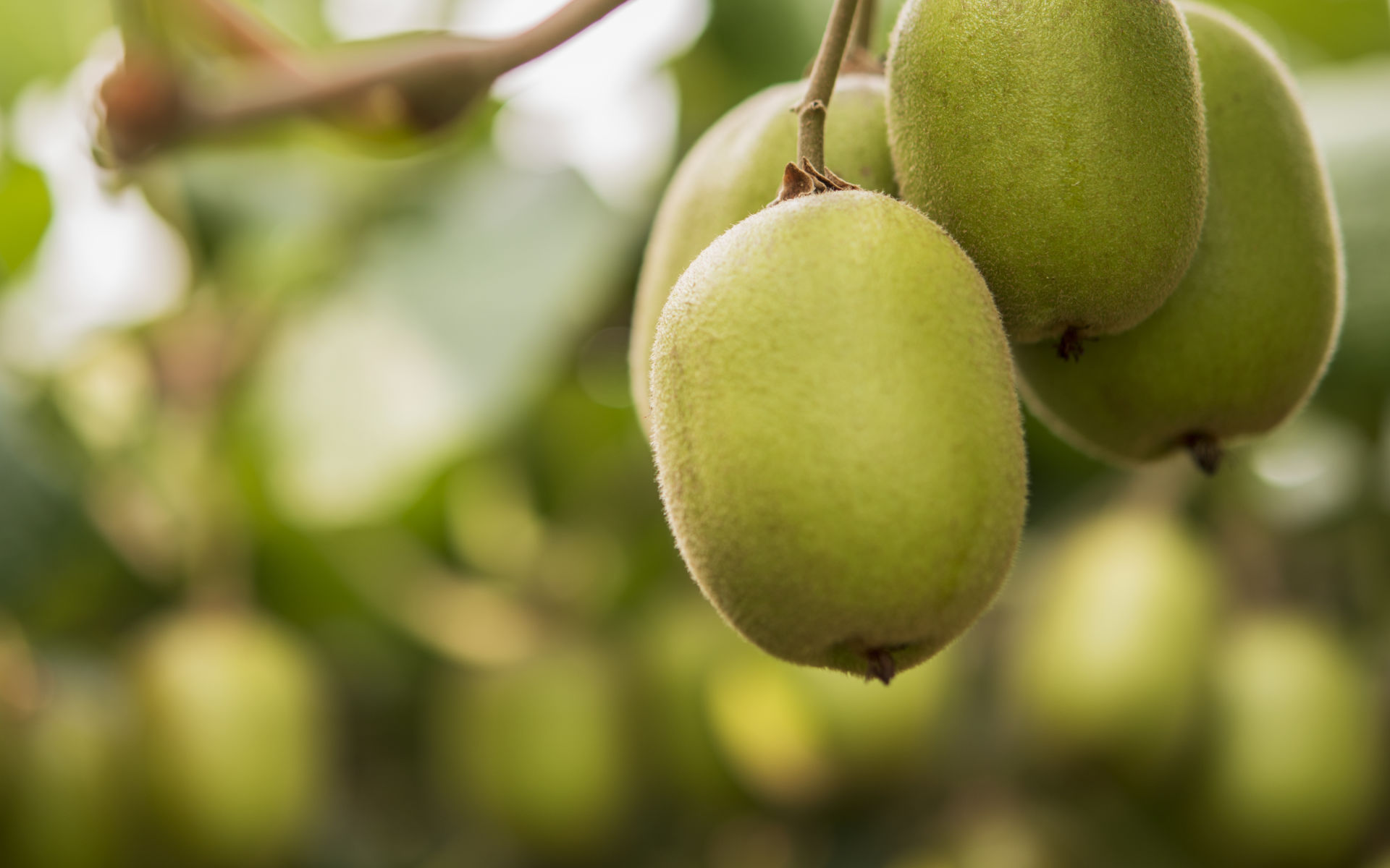 New research project will provide insight into kiwifruit disease Psa