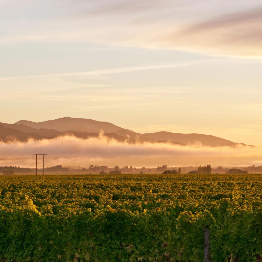 A vineyard sunset