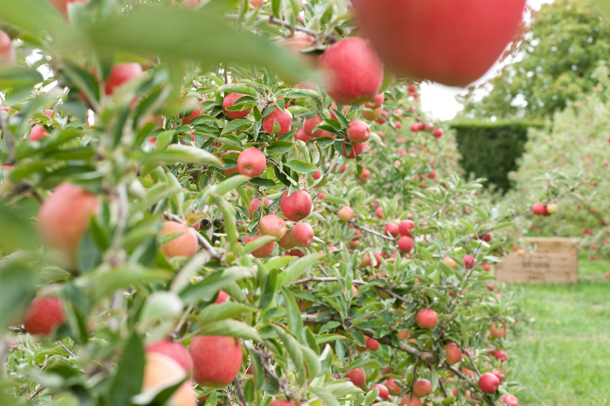 Apple fruit in the orchard
