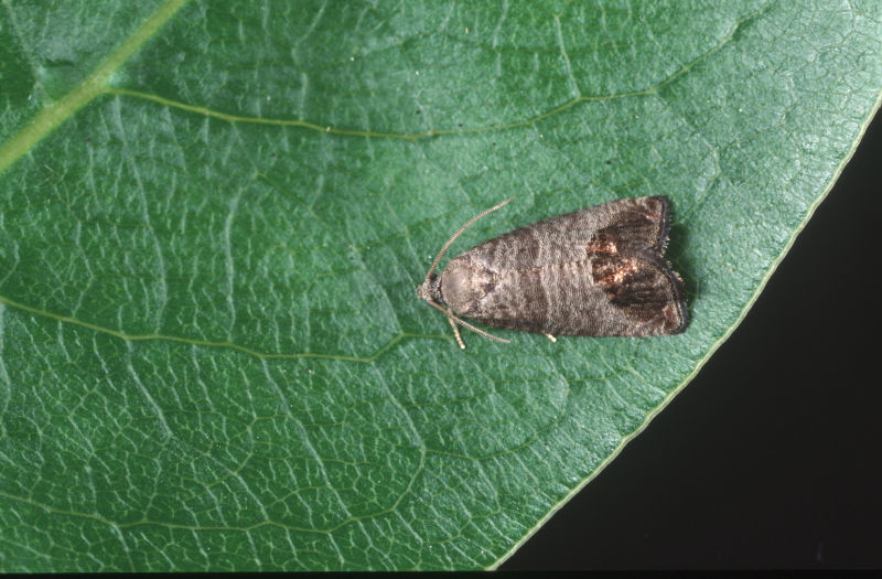 It takes a region! Hawke's Bay community engaged in codling moth research to protect apples