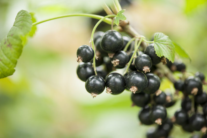 Could consuming New Zealand blackcurrants be enough to earn an Olympic medal?