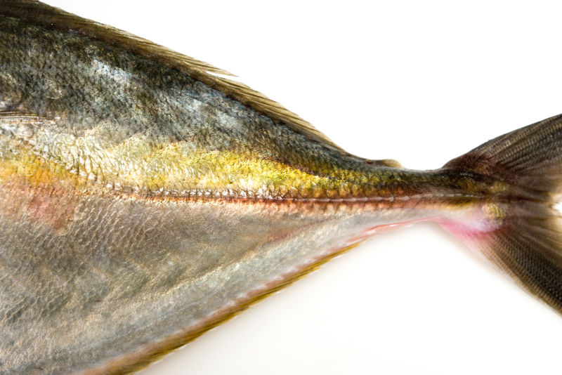 Evaluating new species for aquaculture: New Zealand silver trevally