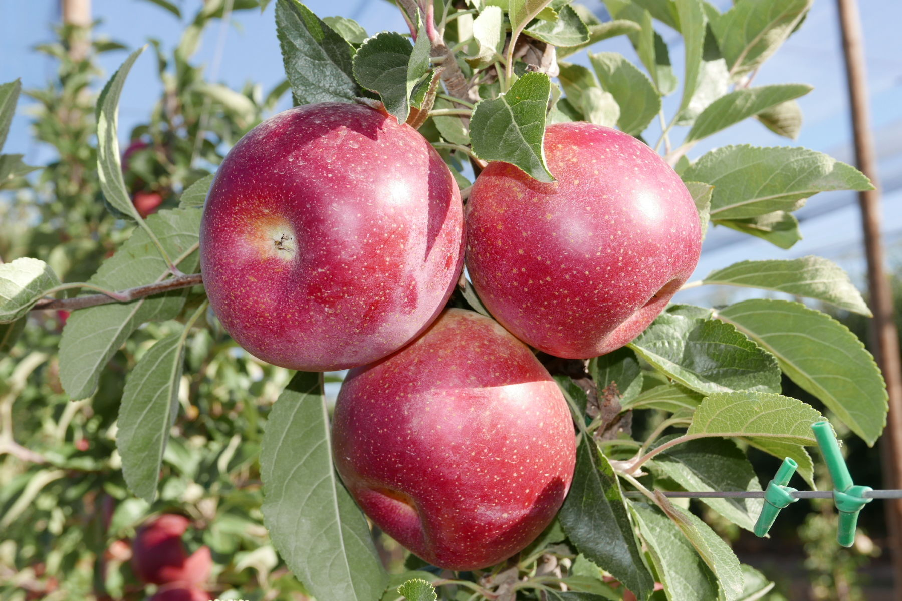 New apples pip the world