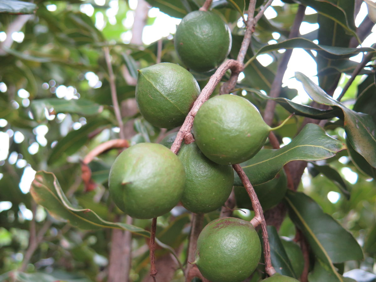 Macadamia nuts on the tree