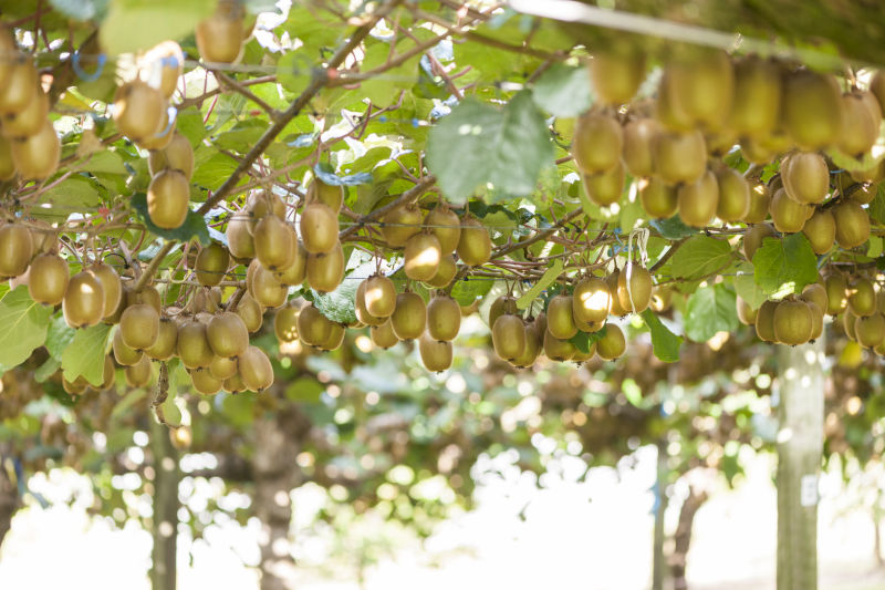 New Kiwifruit Breeding Centre launches to boost innovation