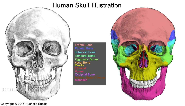 Rushelle.com - Human Skull Anatomy