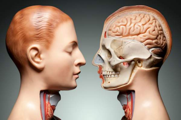 Human head and neck anatomy model.