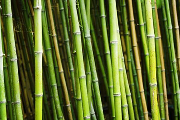 Bamboo plants in garden.
