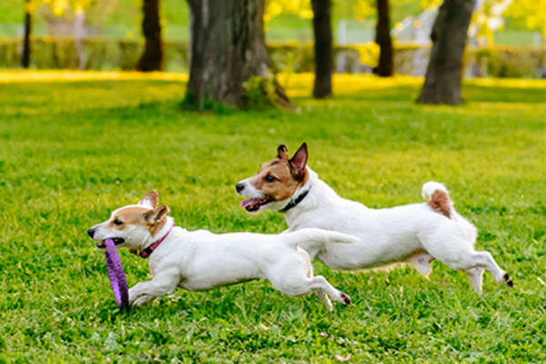 Two small dogs playing in a park.