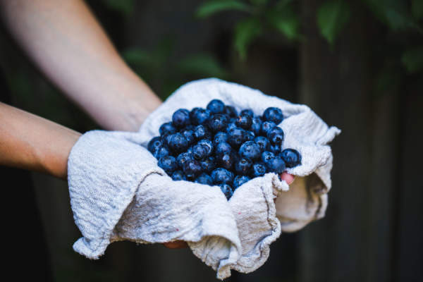 hands holding cloth full of blueberries