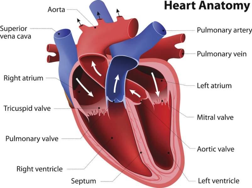 心脏解剖伊罗