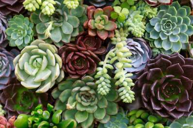 Grouping of miniature succulent plants.