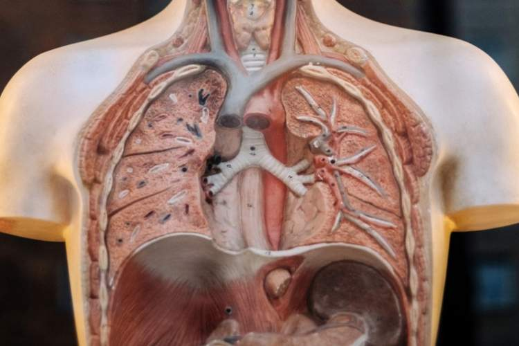human anatomy mannequin displaying lungs