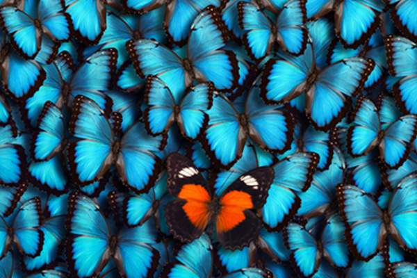 One orange butterfly standing out in a group of blue butterflies.