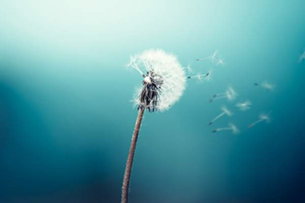 Making a wish on a dandelion.