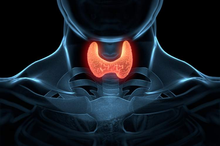 Illustration of a thyroid gland highlighted in a throat.