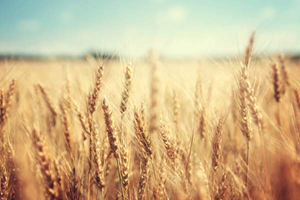 Golden wheat field on a sunny day.